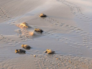 Turtle hatchlings heading for the water at Sukamade