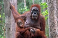 Organgutan and baby, Kalimantan, Tanjung Puting, Indonesia