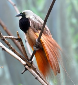 Greater Bird of Paradise in West Papua