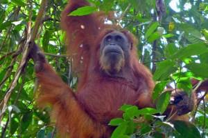 Orangutan at Bukit Lawang, Gunung Leuser NP, Sumatra