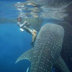 Cenderawasih whale sharks, West Papua, Indonesia