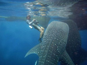 Cenderawasih bay whale sharks, West Papua, Indonesia