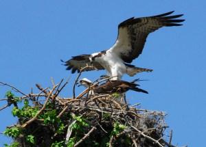 Ospreys inhabit Palau Dua Nature Reserve, Java