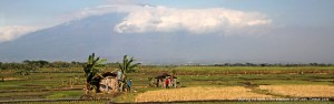 Working the rice fields in the shadow on Mt Lawu, Central Java