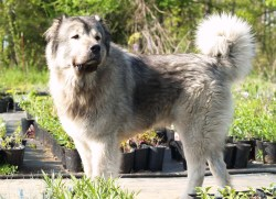 Small Of Russian Mountain Dog