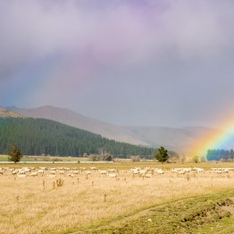 Rainbow and sheeps