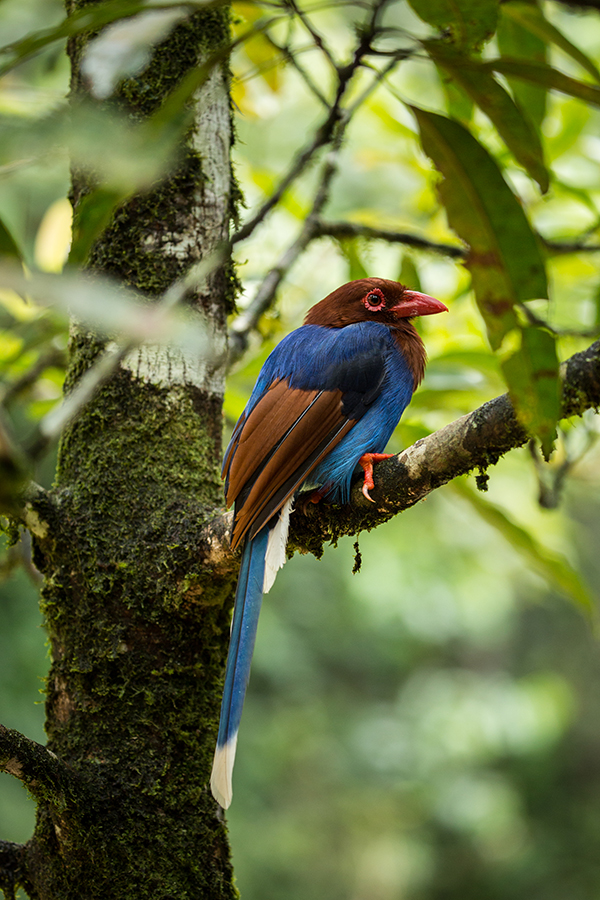 Blue Magpie (Urocissa ornate), a bird species that is endemic to Sri Lanka. Credit: Vincent Luk