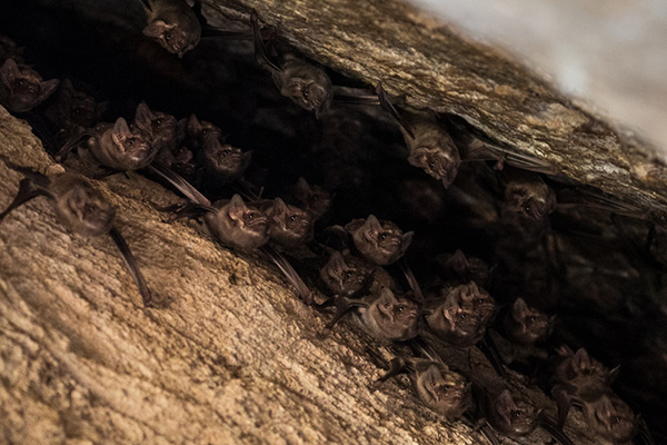 Black-bearded tomb bats (Taphazous melanopogon) staring down at us. One of several bat caves and rocky outcrops we encountered in Sri Lanka. Credit: Vincent Luk