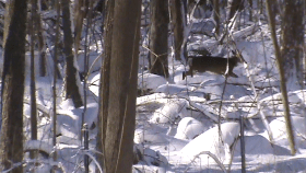 Snowy Morning Deer Chase – The Rut is On!