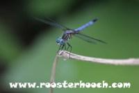 RHDragonfly1(Web)(RH)