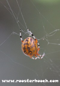 RHGoldenOrbSpider1(Web)(RH)