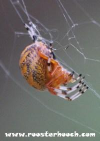 RHGoldenOrbSpider2(Web)(RH)