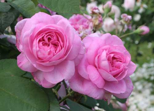 rosen g die zauberhafte welt der rosen. Black Bedroom Furniture Sets. Home Design Ideas