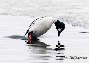 Goldeneye duck in Essex on Lake Champlain (Photo: John DiGiacomo)