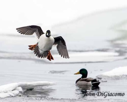 Goldeneye duck with mallard in Essex on Lake Champlain (Photo: John DiGiacomo)