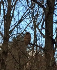 Owl perched quietly in Rosslyn's Hickory Hillock.