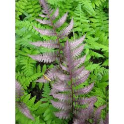 Small Crop Of Silver Lace Fern