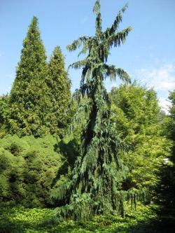 Small Of Weeping Alaskan Cedar
