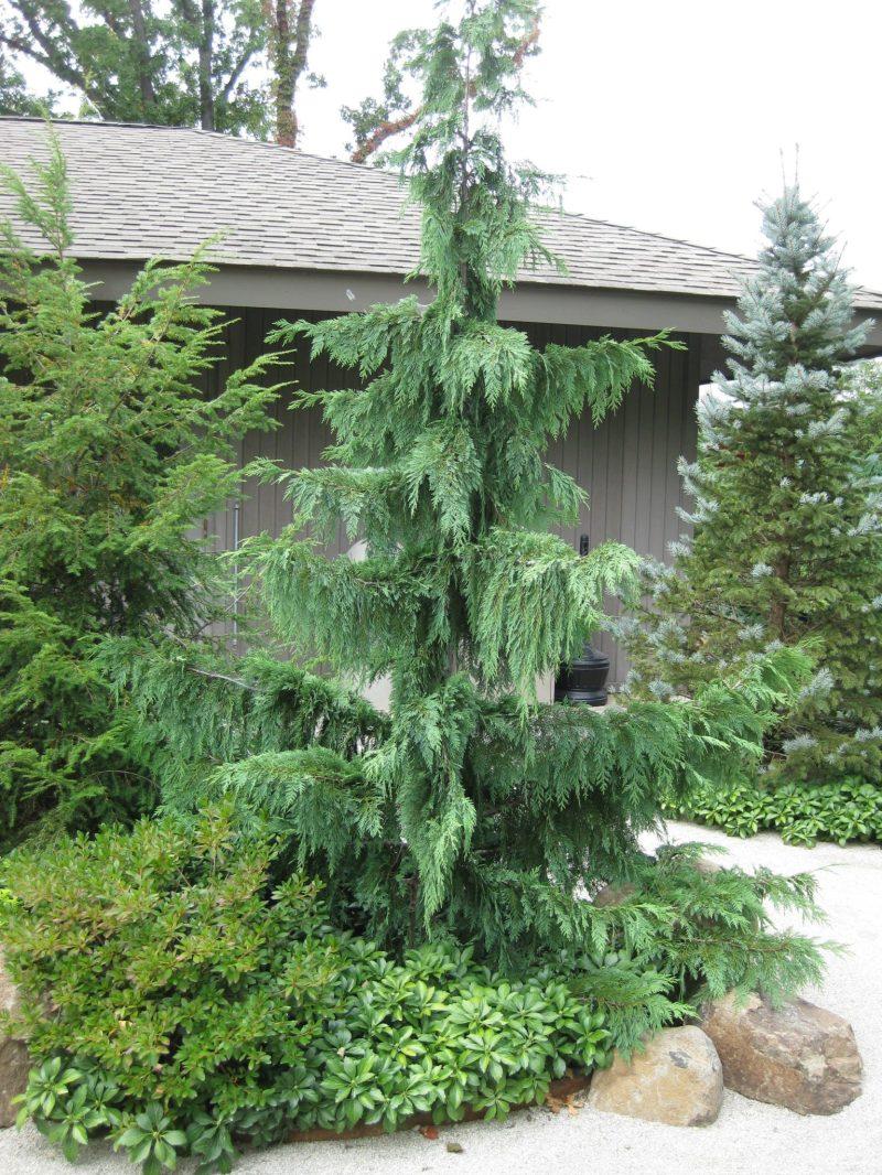 Large Of Weeping Alaskan Cedar