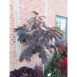 Small Crop Of Chocolate Mimosa Tree