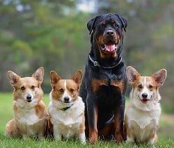 Rottweiler Sit Command
