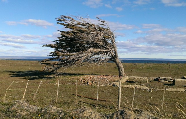 Tree bent by wind