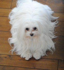 Small Of Maltese Puppy Cut