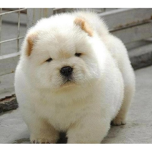 Medium Crop Of Baby Chow Chow