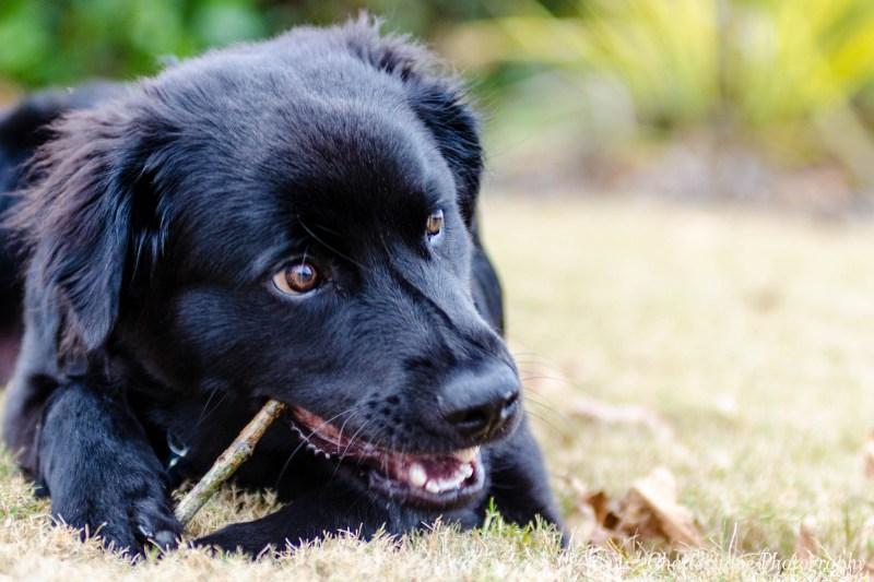 Large Of Strongest Dog Breed