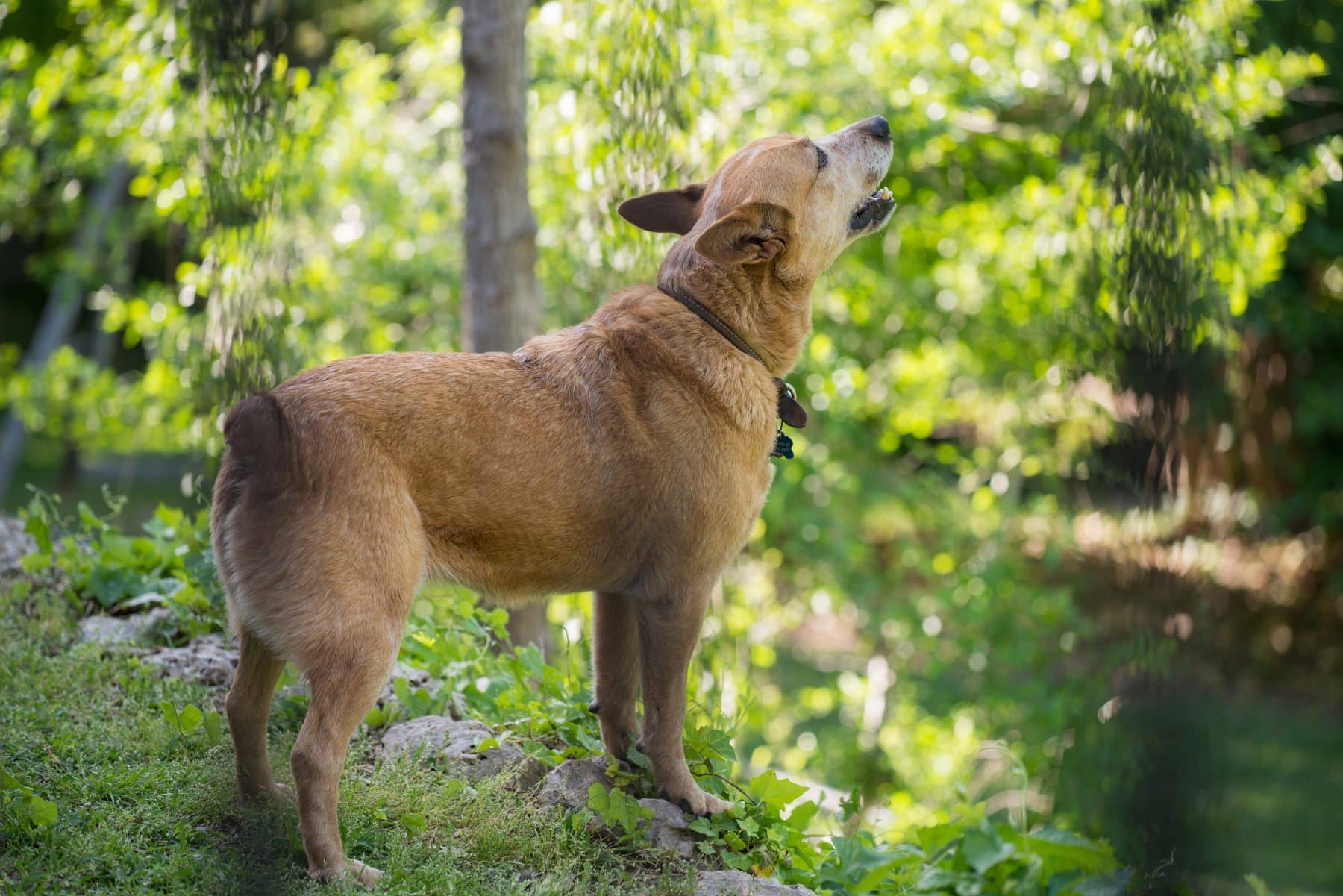 Fullsize Of Why Do Dogs Howl At Sirens