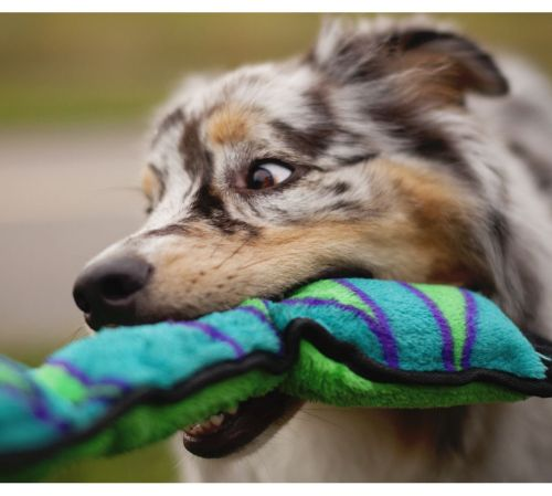 Medium Of Why Do Dogs Like Squeaky Toys