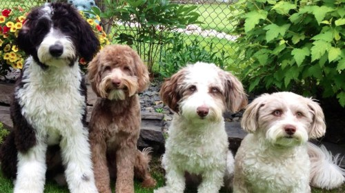 Medium Of Low Maintenance Dog Breeds