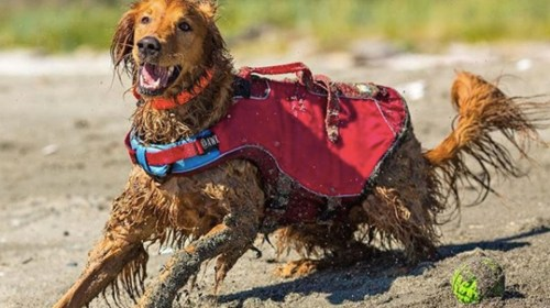 Posh Learn All About Your Exercise Needs According To Ir Breed Dogpeople By Learn All About Your Exercise Needs According To Ir Breed Red Coat Dog Breeds Red Dog Breed List