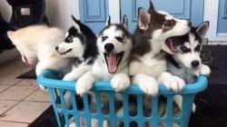 Small Of Corgi Husky Puppies