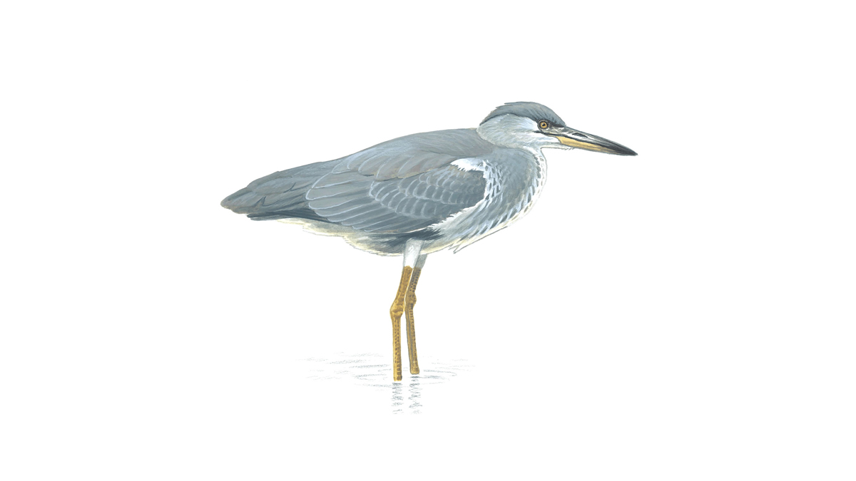 Grey Heron Bird Facts   Ardea Cinerea   The RSPB Grey heron  immature