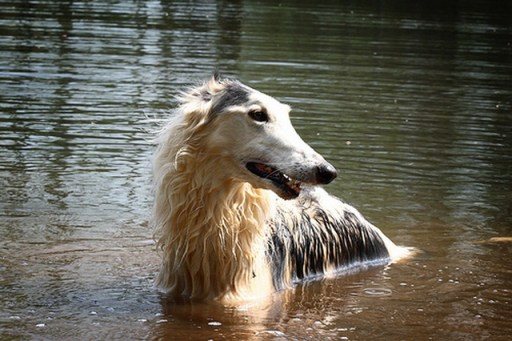 dog swimming Borzoi Pictures