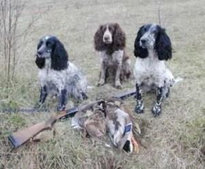 hunting spaniel 300x247 Russian Spaniel