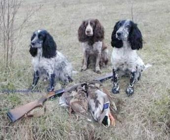 hunting_spaniel