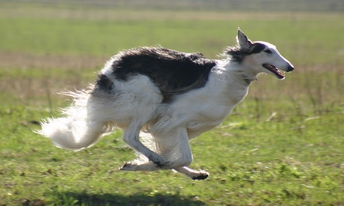 Russian dog Borzoi