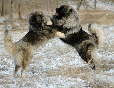 Caucasian Ovcharka fighting