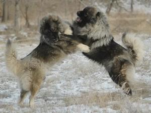 Caucasian dogs fight