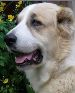 central asian dog 243x300 Central Asian Dog