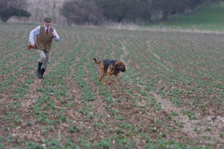bloodhound hunting photo