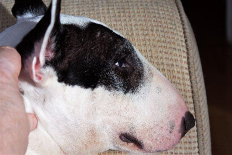 bull terrier ears