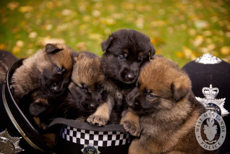 german shepherd police puppies