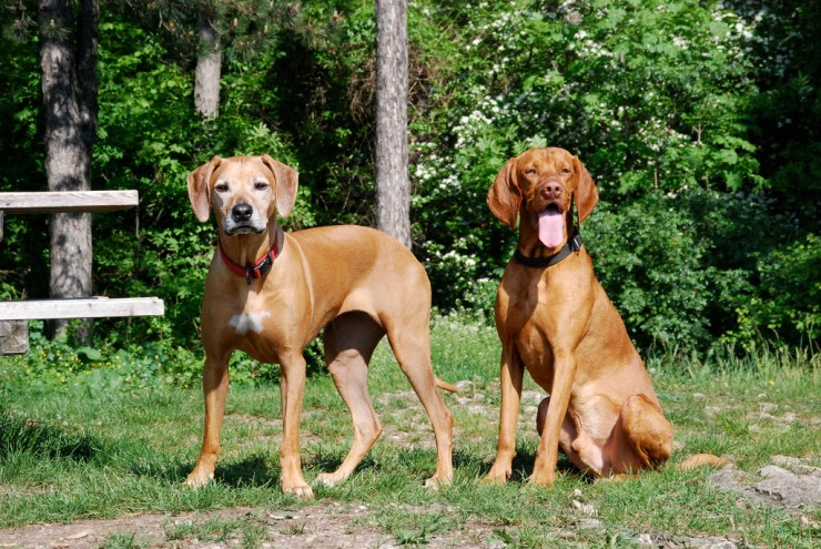 Vizsla and Rhodesian Ridgeback photo
