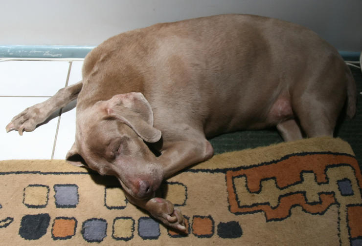 Is 8 Hours Too Much Time To Leave A Weimaraner Alone At Home