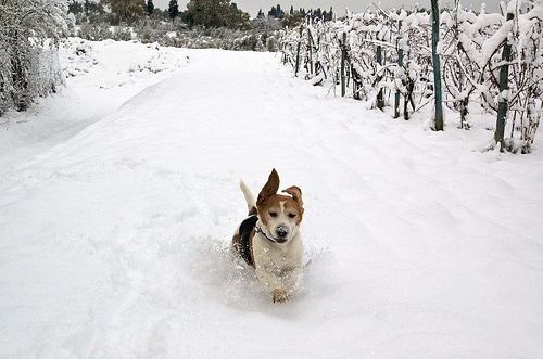 beagle winter photo