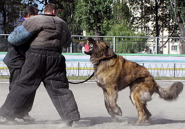 caucasian-dog-training
