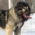 russian-caucasian-dog-thumbnail